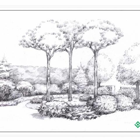 Сосны пиньи на входной зоне сада - рисунок