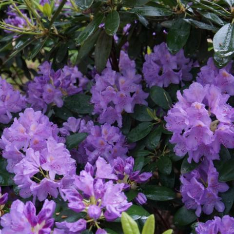 Грандифлора рододендрон лилового цвета