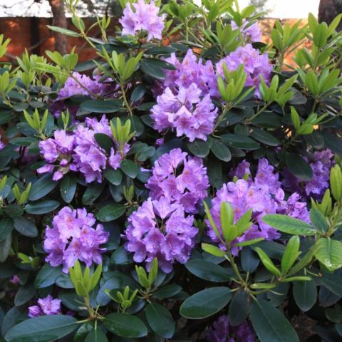 Цветы рододендрона Грандифлоры