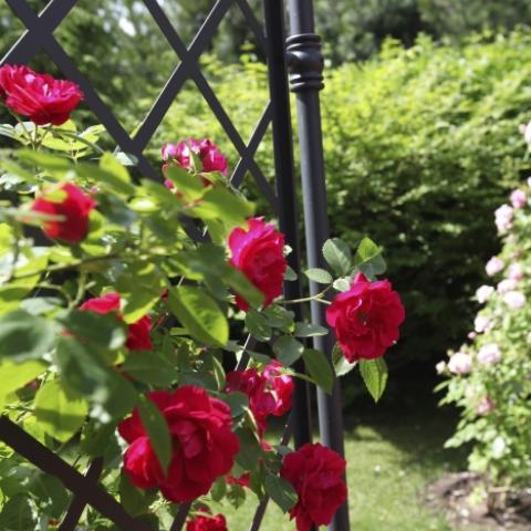Плетистая роза на опоре