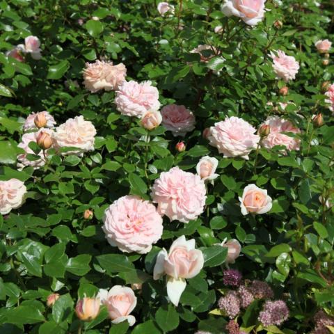 Розарий. Розы английские парковые