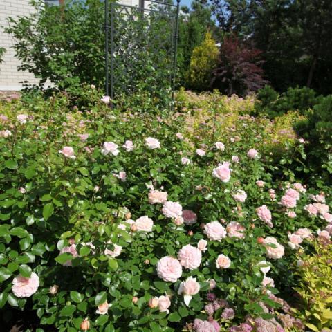 Розы английские парковые