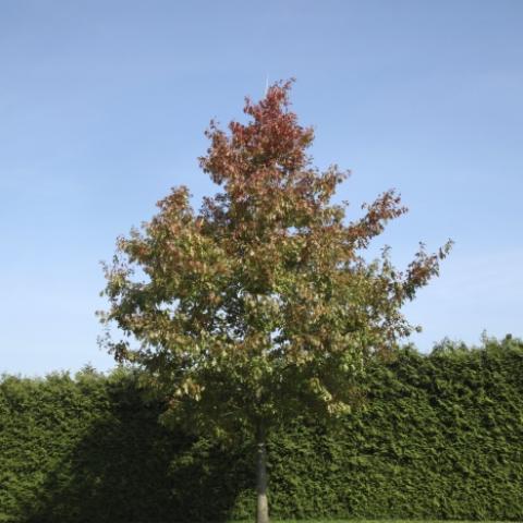Растения из Брунса (Bruns Pflanzen) - Дуб красный - солитер - 70-80