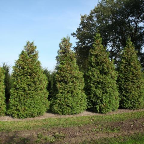Растения из Брунса (Bruns Pflanzen) - Туя западная 4-5 м