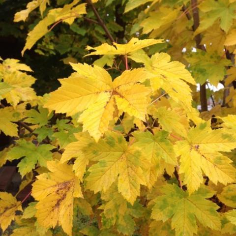 Желтые листья клена в осеннем саду