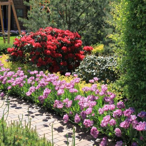 Тюльпаны и рододендроны в ландшафтном дизайне