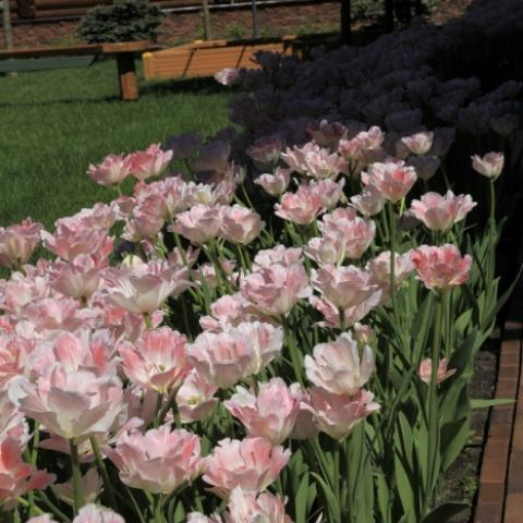 Цветник из тюльпанов махровых