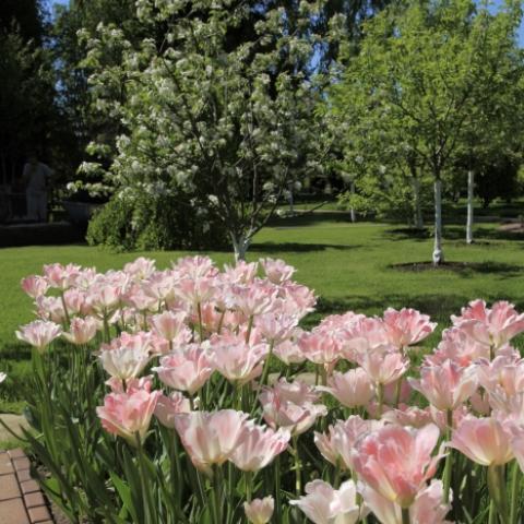 Тюльпаны махровые в ландшафтном дизайне
