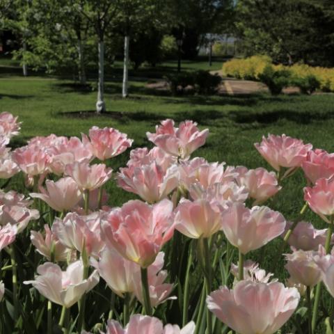 Цветник из махровых тюльпанов
