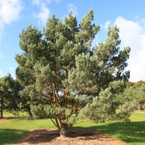 Растения из Брунса (Bruns Pflanzen) - Сосна обыкновенная - солитер - 4-5 м