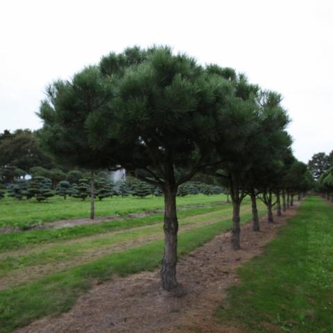 Сосна черная форма пинья Pinus nigra