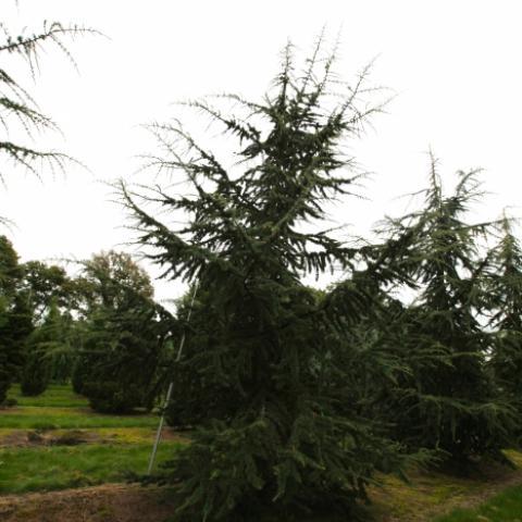 Кедр ливанский солитер высота 6-7 м.
