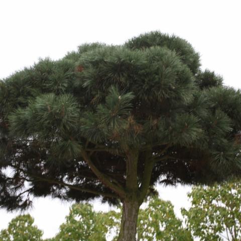Сосна черная -Pinus nigra- форма облако