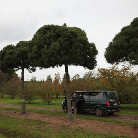 Крупномер Сосна черная -Pinus nigra- форма пинья на штамбе 4 метра