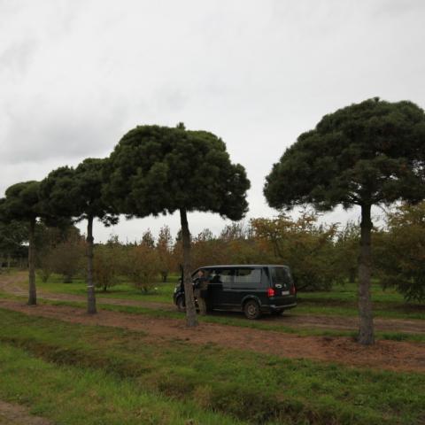 Крупномер Сосна черная -Pinus nigra- форма пинья обхват ствола 70-80