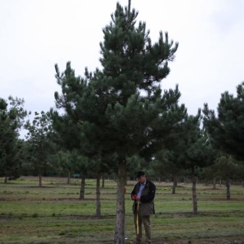 Крупномер Сосна черная -Pinus nigra- штамб 50-60
