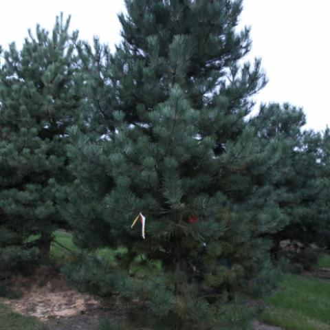 Крупномер Сосна черная -Pinus nigra- 400-450