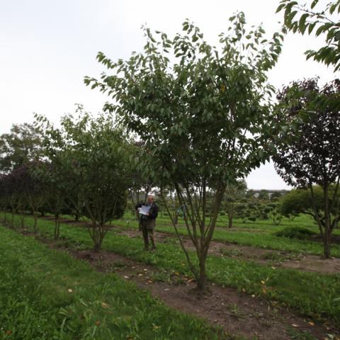 Вишня мелкопильчатая Канзан Prunus serrulata Kanzan форма зонт
