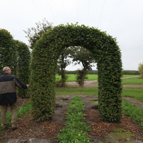 Граб обыкновенный (Carpinus betulus) форма арка