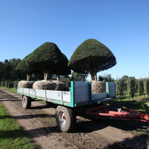 Растения из Германии, подготовка посадочного материала