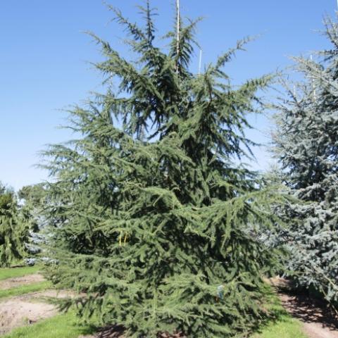 Растения из Германии, крупномер кедр ливанский