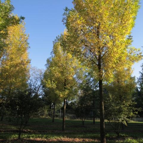 Растения из Германии, ясень обыкновенный аллейный крупномер