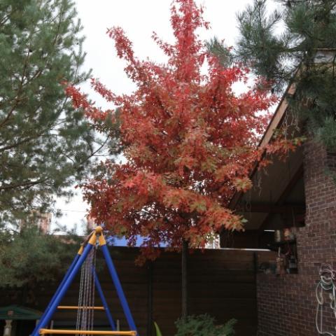 Дуб болотный - главное дерево любого нашего сада - осенняя красная окраска