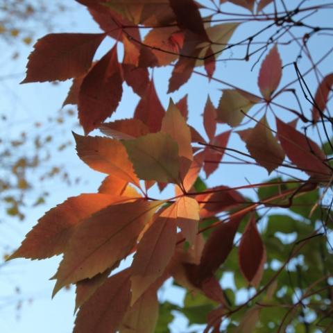 Виноград девичий пятилисточковый осенняя красная окраска