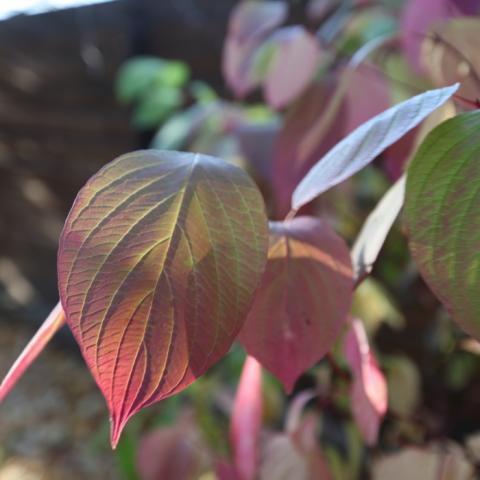 Красивые разноцветные листья дерена в солнечном свете