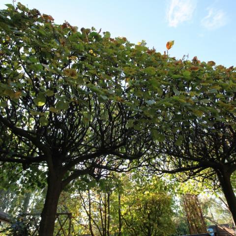 Липа в саду с красивой формой крыши