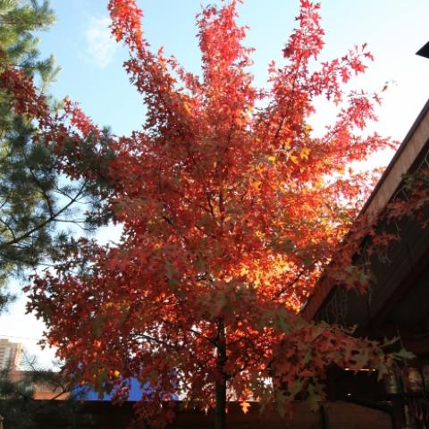 Осенняя ярко красная окраска дуба болотного