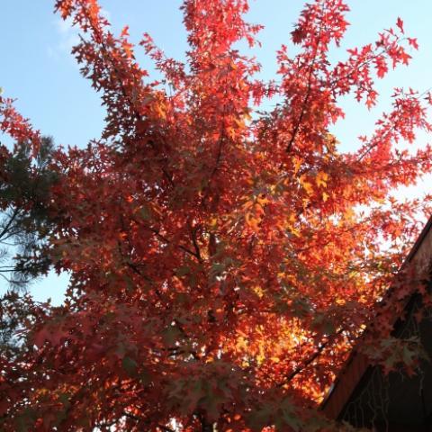 Дуб болотный - главное дерево любого сада - осенняя красная окраска