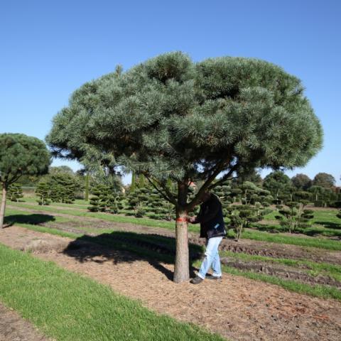 Растения из Брунса (Bruns Pflanzen) - Сосна обыкновенная - форма пинья - 50-60