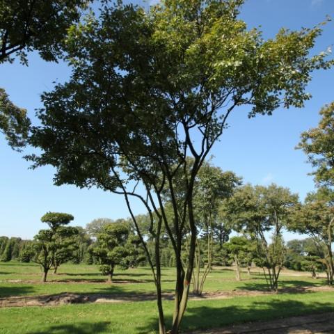 Растения из Германии, ирга Ламарка крупномер - зонтик  4,5 метра