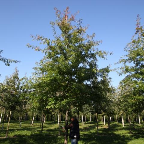 Растения из Германии, дуб болотный - крупномер