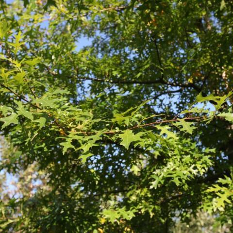 Растения из Германии, дуб болотный