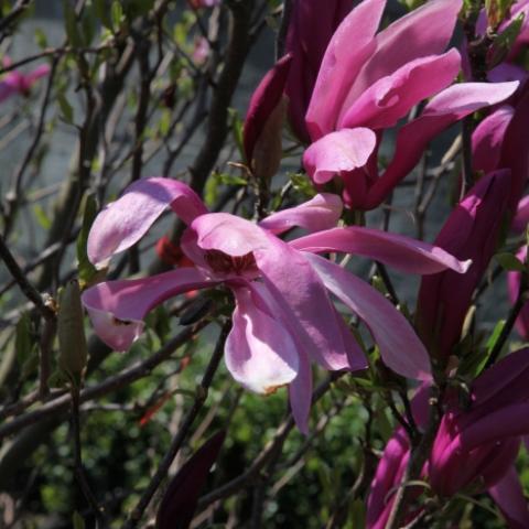 Цветение магнолии в Ставрополе, цветок