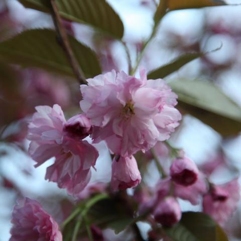 Цветы сливы мелкопильчатой (Сакуры) Канзан (Prunus serrulata Kanzan)