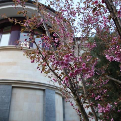 Цветение сливы мелкопильчатой (Сакуры) Канзан