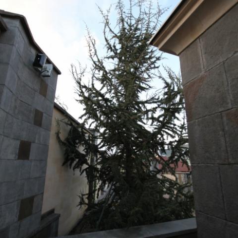 Кедр ливанский в саду в Ставрополе