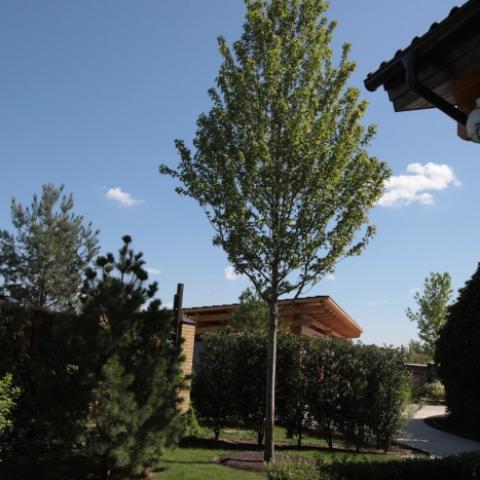 Лиственное дерево - крупномер