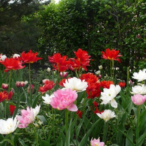 Цветник из тюльпанов ассорти