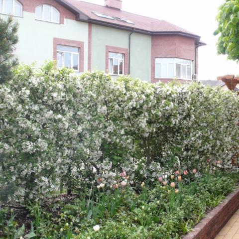 Живая изгородь из яблони Эверест, подпорная стена