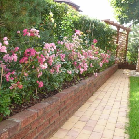Стенка из голландского кирпича и бордюрные розы