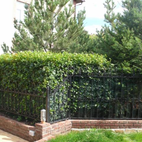 Ландшафтный дизайн, живая изгородь из боярышника сливолистного и сосны