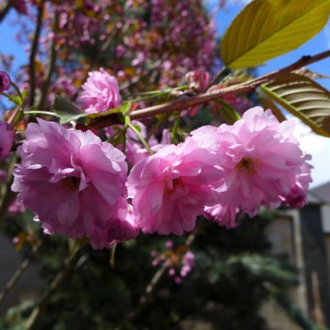 Цветение сливы мелкопильчатой (Сакуры) Канзан (Prunus serrulata Kanzan)