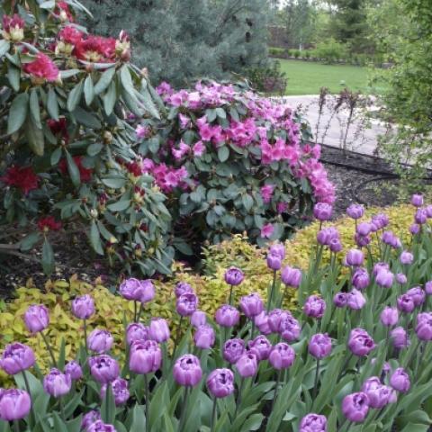 Цветник из тюльпанов и микс из рододендронов