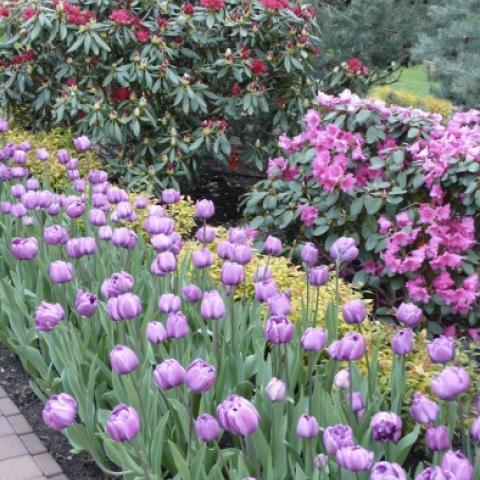 Рододендром Розеум Элеганс в окружении весенних тюльпанов