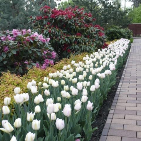 Ярко-розовый рододендрон с нежно-белыми тюльпанами