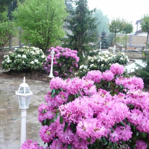 Розово-лиловый Розеум Элеганс